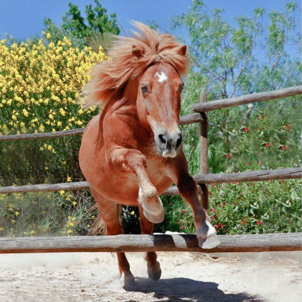 Shetland pony jumping agility course
